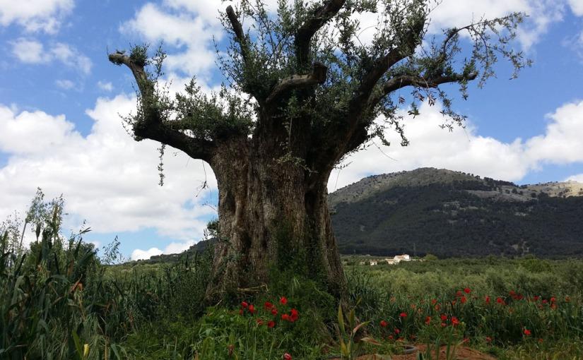 "De Túnez a Granada. La historia del olivo ""Lucio""."